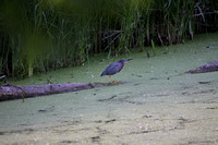 Green Heron - MN River-bottom